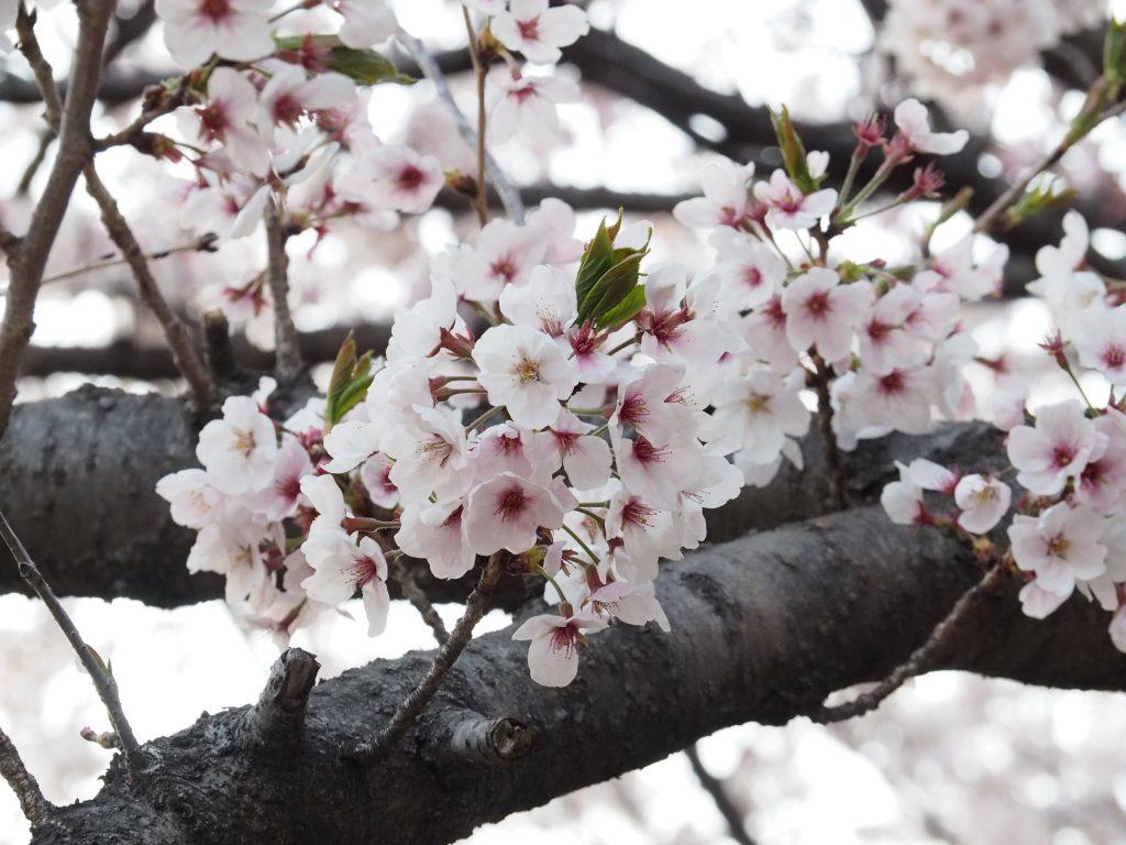 【慶尚南道】韓国最大の桜祭り!鎮海(チネ)軍港祭