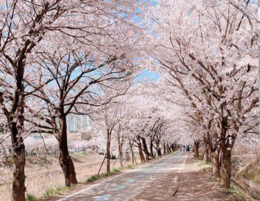 「スタートアップ:夢の扉」ロケ地完全解説②美しすぎる桜並木